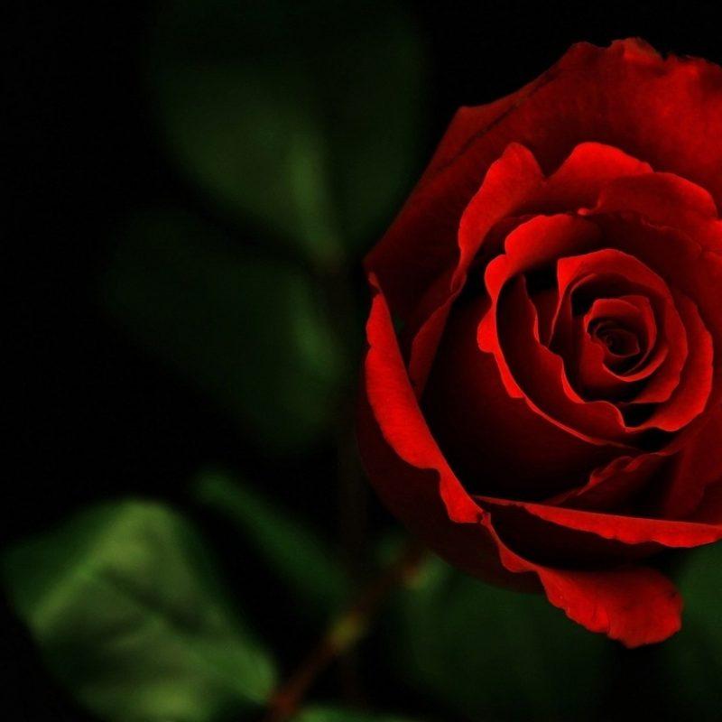 10 Top Dark Red Rose Wallpapers FULL HD 1080p For PC Desktop 2020 free download dark red rose flowers photography wallpaper preview 10wallpaper 800x800