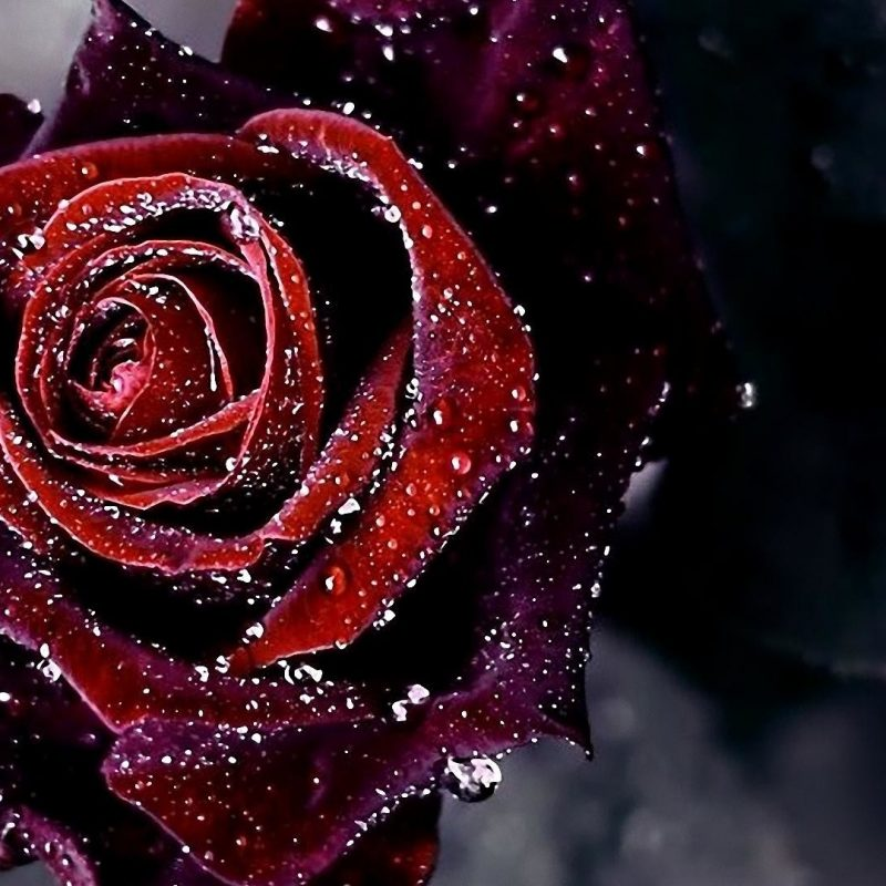 10 Top Dark Red Rose Wallpapers FULL HD 1080p For PC Desktop 2020 free download dark red roses wallpaper 59 images 800x800
