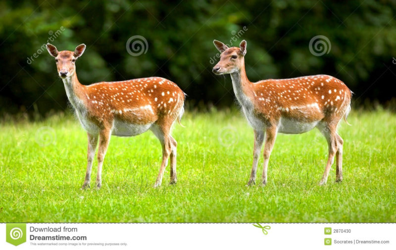 10 Latest Images Of Deers FULL HD 1920×1080 For PC Desktop 2021 free download deers wild doe stock photo image of alert creature 2870430 800x506