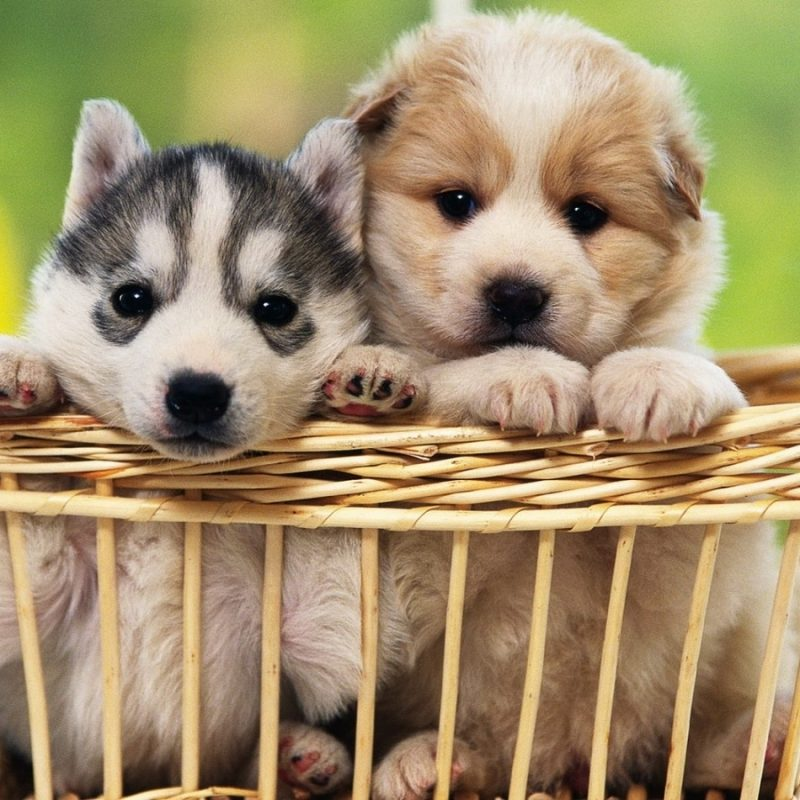 10 Latest Cute Baby Dogs Images FULL HD 1920×1080 For PC Desktop 2021 free download desktop cute images of baby dogs download 1 800x800