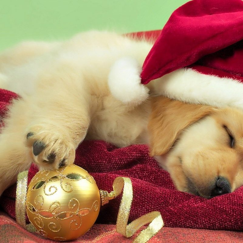 10 Top Cute Puppy Christmas Pictures FULL HD 1080p For PC Desktop 2020 free download desktop cute puppy christmas pics 800x800