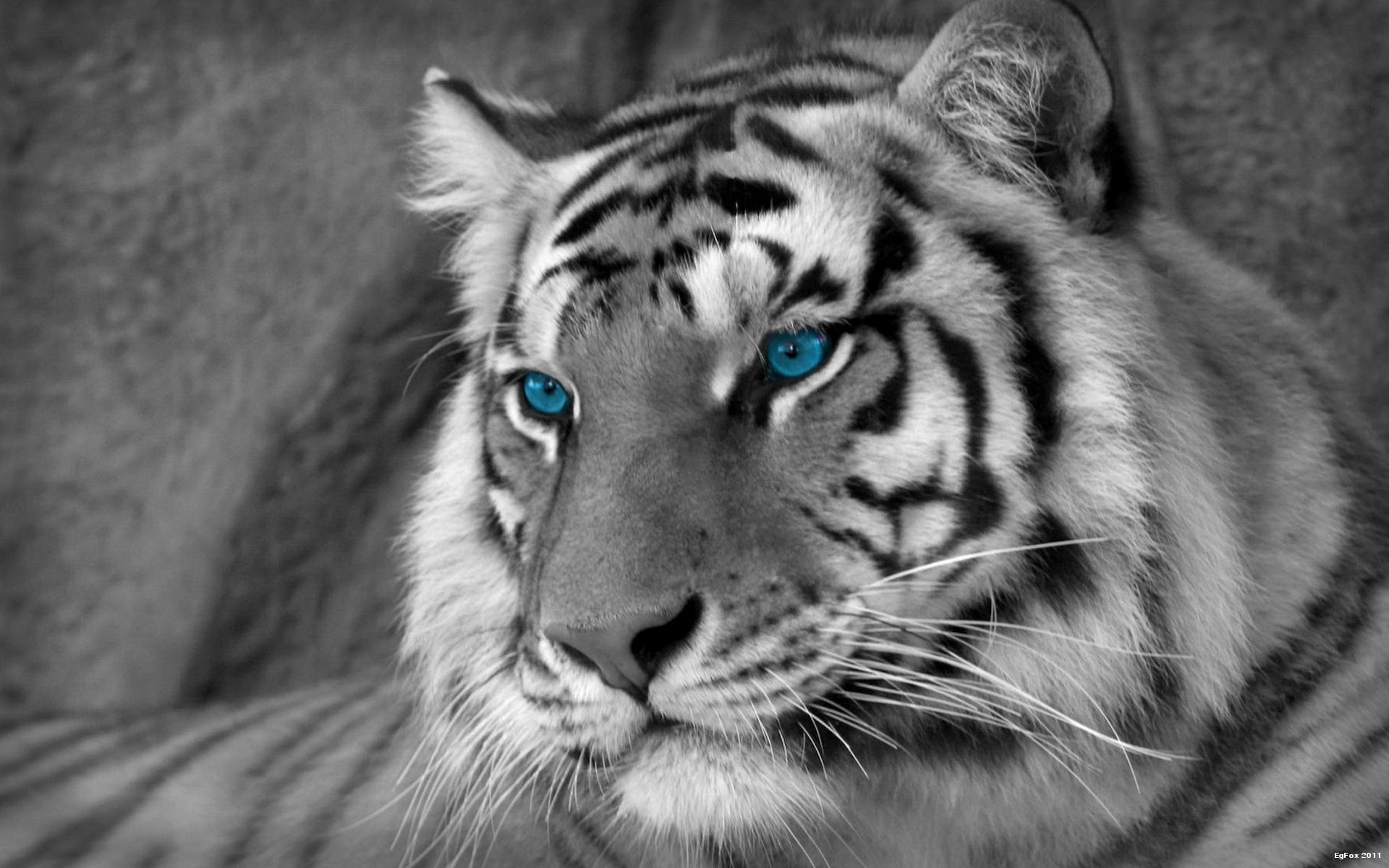 desktop hd free images of bengal white tigers
