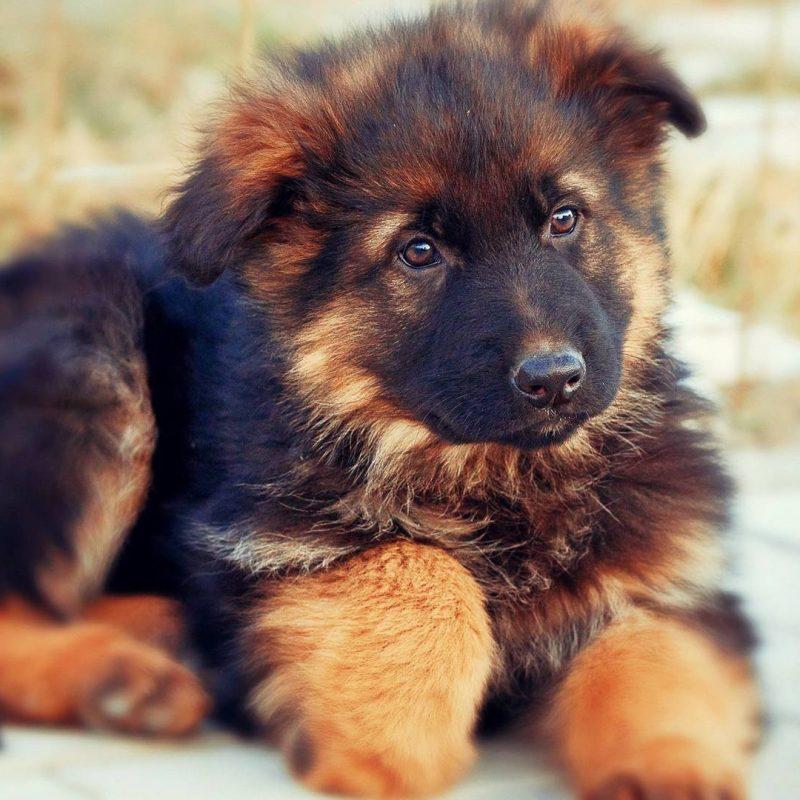 10 Most Popular German Shepherd Puppy Wallpaper FULL HD 1080p For PC Desktop 2021 free download desktop hd images of german shepherd dogs 800x800