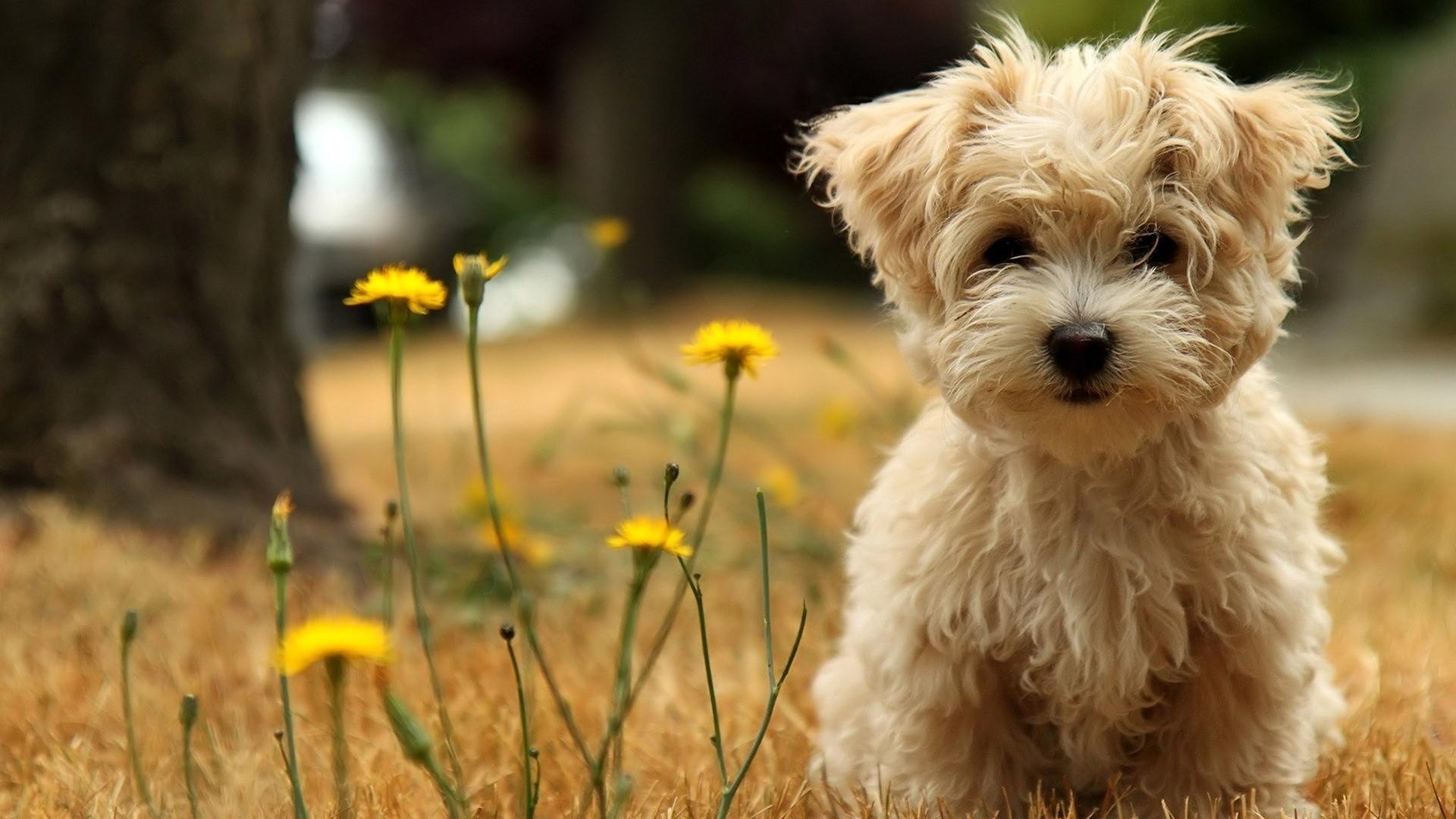 10 best puppies wallpaper for desktop full hd 1080p for pc desktop