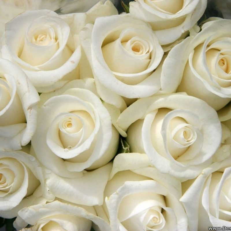 10 New White Roses Background Tumblr FULL HD 1920×1080 For PC Background 2018 free download desktop wallpapers flowers backgrounds white roses www 800x800