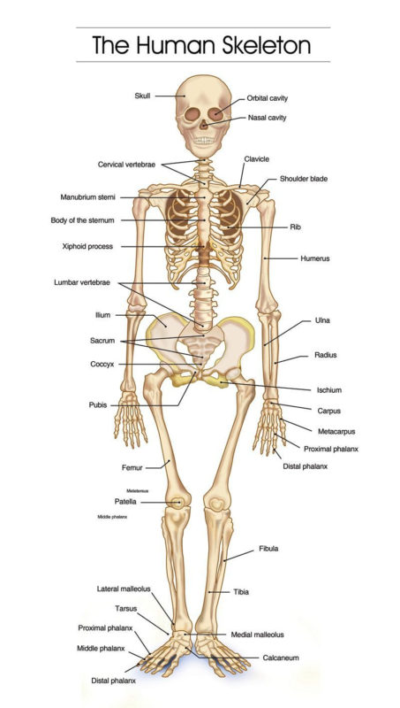 10 Most Popular Human Skelton Pictures FULL HD 1080p For PC Desktop 2020 free download detailed human skeleton diagrams health medicine and anatomy 453x800