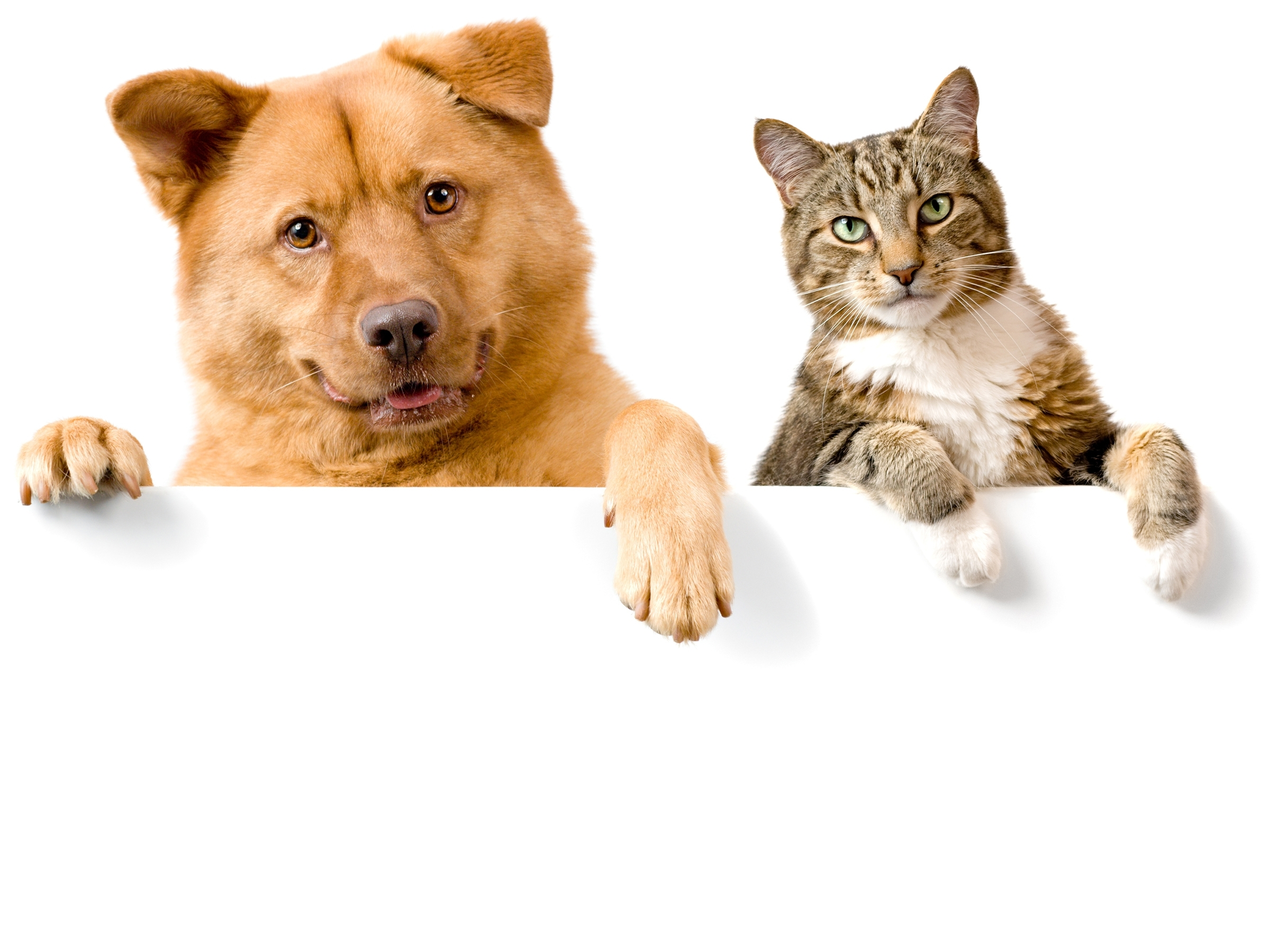 dog and cat wallpaper background for desktop wallpaper « long wallpapers