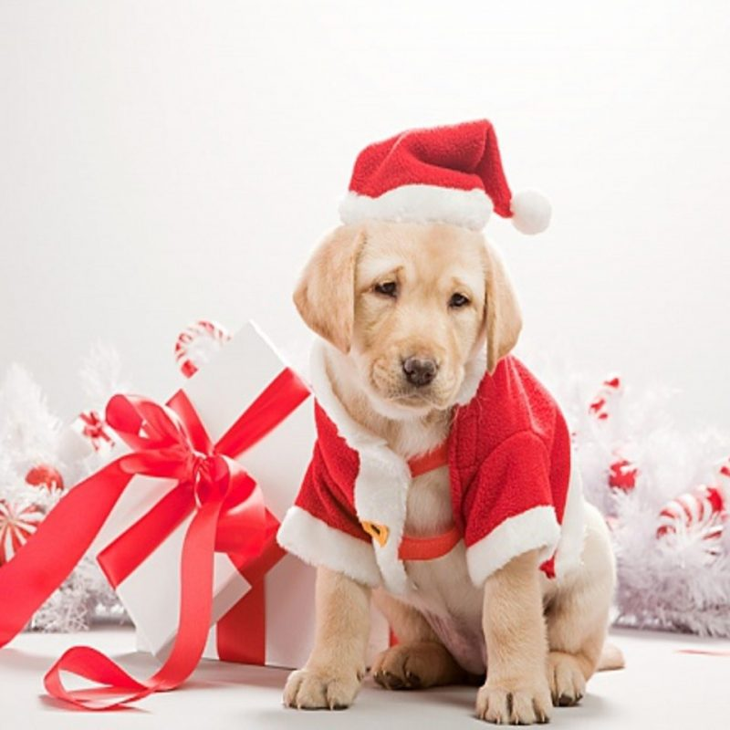 10 Top Cute Merry Christmas Wallpaper Dogs FULL HD 1080p For PC Desktop 2020 free download dog merry christmas 2015 wallpaper hd wallpapers 800x800