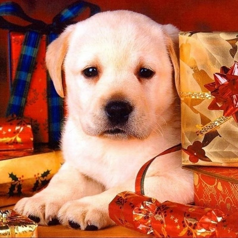 10 Best Cute Animal Christmas Wallpaper FULL HD 1080p For PC Background 2018 free download dog puppy holiday cute dog christmas wallpaper ipad 3 hd 169 high 800x800