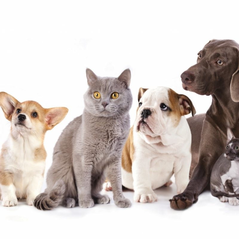 10 Best Dog And Cat Backgrounds FULL HD 1920×1080 For PC Background 2018 free download dog wallpaper hd backgrounds images ololoshenka pinterest dog 1 800x800
