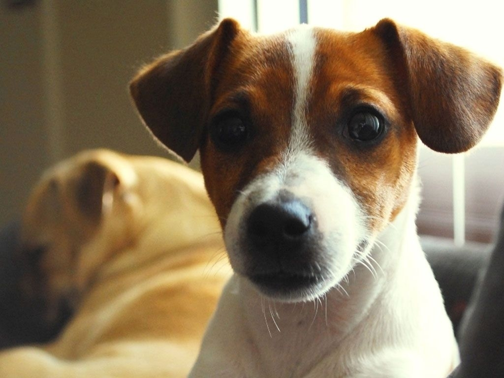 dogs wallpapers amazed face of jack russell wallpaper | makeup