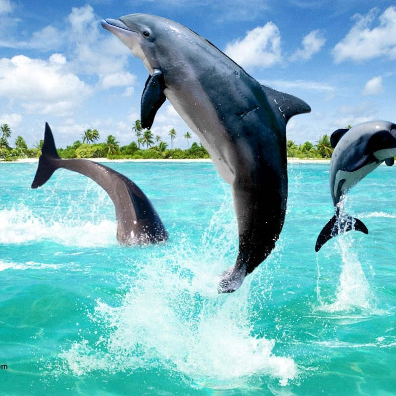 10 Best Dolphins Wallpaper Free Download FULL HD 1920×1080 For PC Background 2021 free download dolphin wallpapers hd pictures one hd wallpaper pictures 800x800