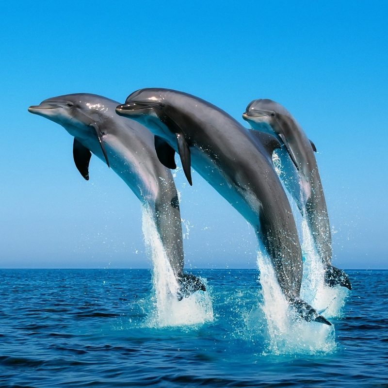 10 Best Dolphins Wallpaper Free Download FULL HD 1920×1080 For PC Background 2021 free download dolphins wallpaper dolphins animals wallpapers in jpg format for 800x800