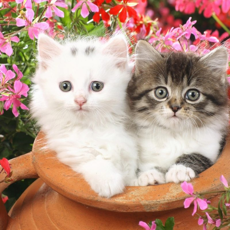 10 Top Kitten Wallpapers Free Download FULL HD 1920×1080 For PC Background 2018 free download double cat wallpaper pixelstalk 800x800