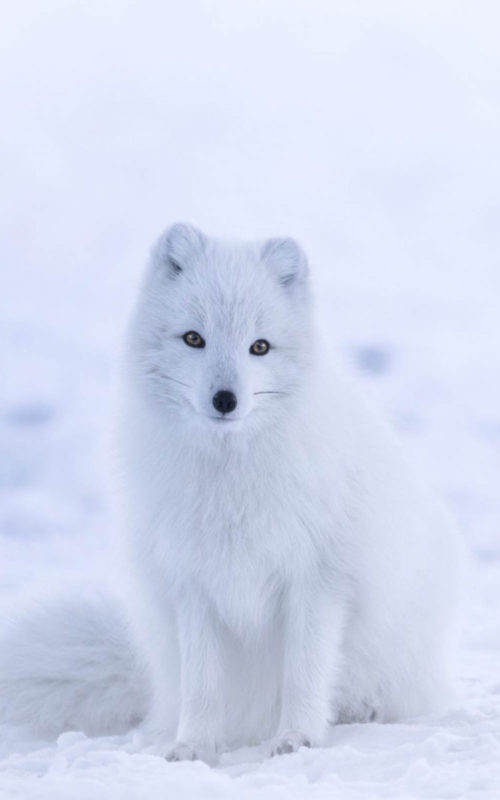 10 Most Popular Cute White Wallpaper FULL HD 1080p For PC Background 2018 free download download cute white arctic fox free pure 4k ultra hd mobile wallpaper 500x800