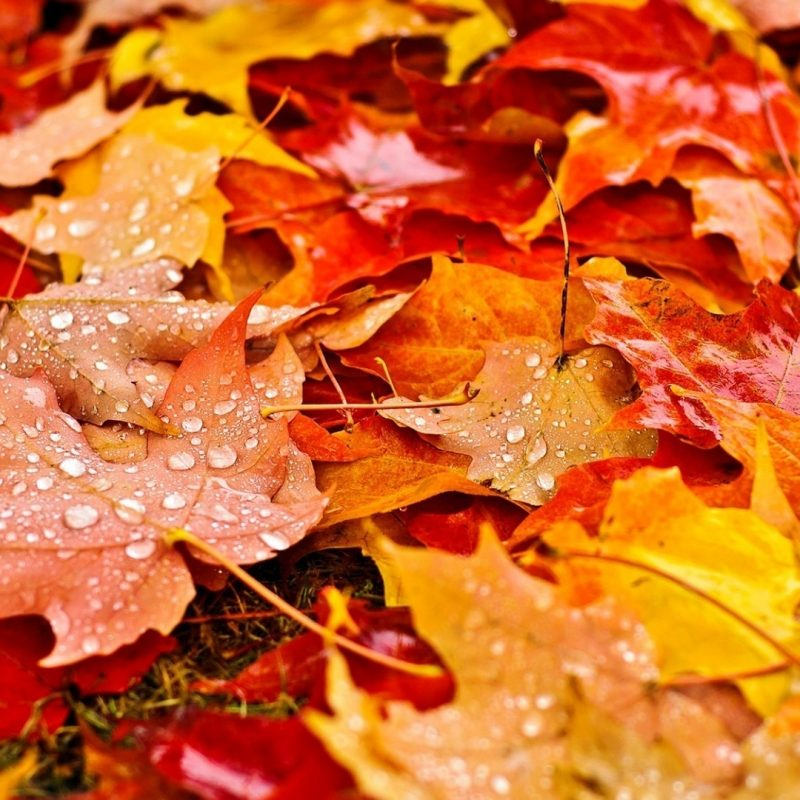 10 New Fall Leaves Desktop Backgrounds FULL HD 1080p For PC Background 2018 free download download fall leaves wallpapers hd resolution for widescreen 800x800