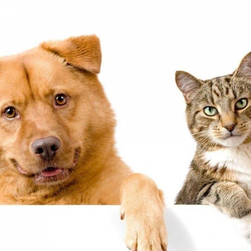 10 Latest Dog And Cat Background FULL HD 1080p For PC Background 2018 free download download wallpaper 1920x1080 dog cat funny couple full hd 1080p 800x800