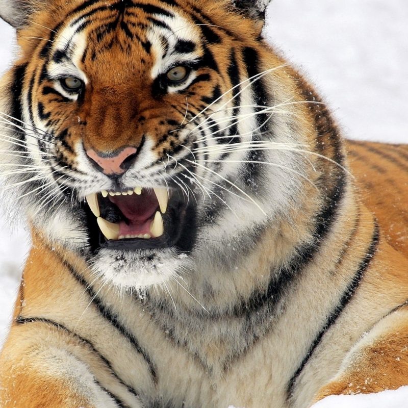10 New Siberian Tiger Wallpaper Hd 1080P FULL HD 1080p For PC Background 2020 free download download wallpaper 1920x1080 tiger amur tiger aggression teeth 800x800