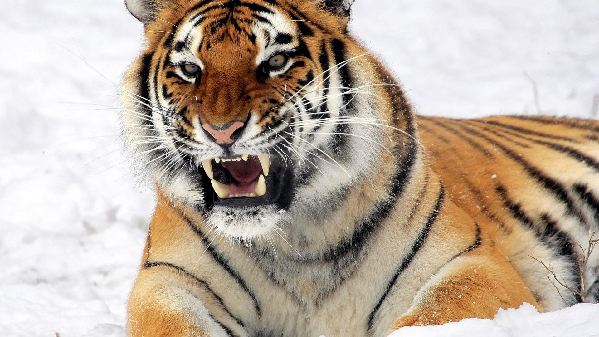 10 new siberian tiger wallpaper hd 1080p full hd 1080p for pc