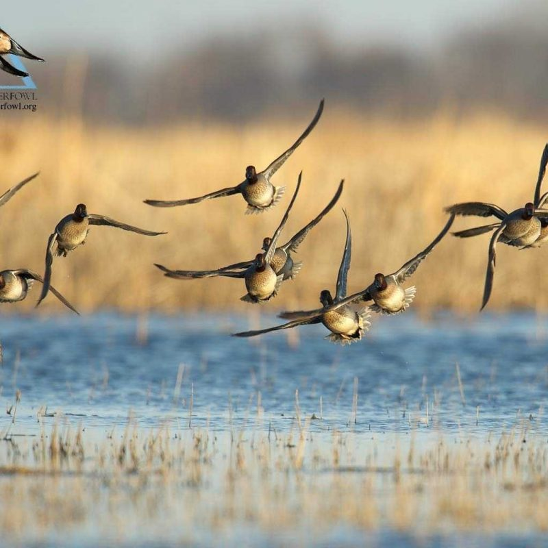 10 Most Popular Duck Hunting Iphone Wallpaper FULL HD 1920×1080 For PC Desktop 2018 free download duck hunting wallpaper high quality full hd pics of mobile phones 800x800