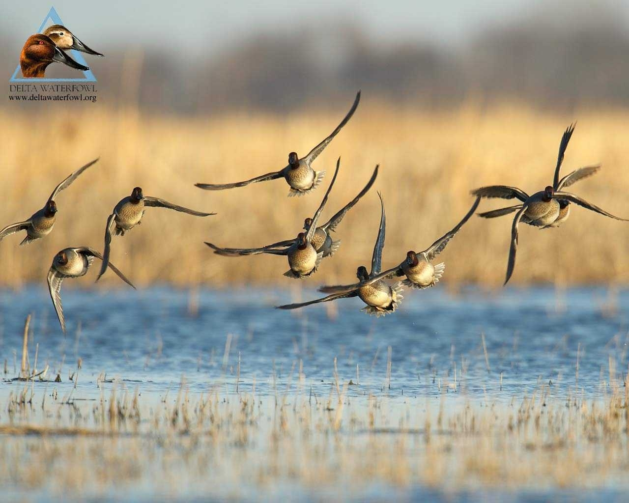 duck hunting wallpaper high quality full hd pics of mobile phones