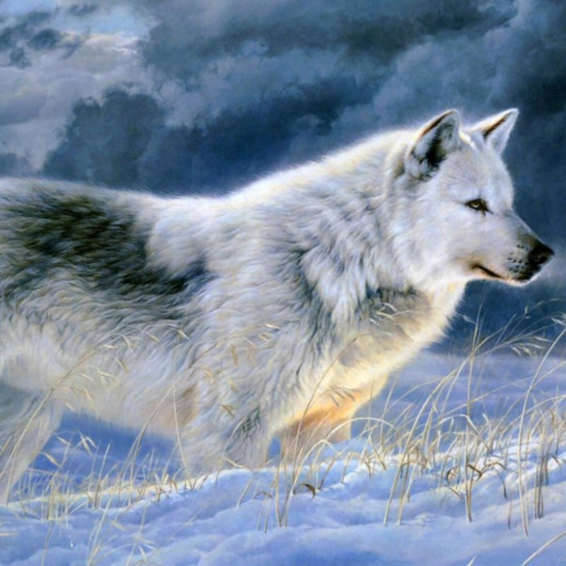 10 Most Popular Grey Wolf Wallpaper 1920X1080 FULL HD 1920×1080 For PC Desktop 2018 free download dudespie images wolves hd wallpaper and background photos 37395283 800x800