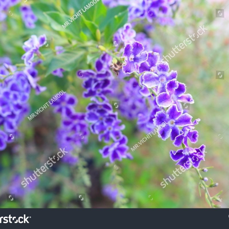 10 Latest Beautiful Purple Flowers Images FULL HD 1080p For PC Desktop 2020 free download duranta repens many beautiful purple flowers photo libre de droits 800x800