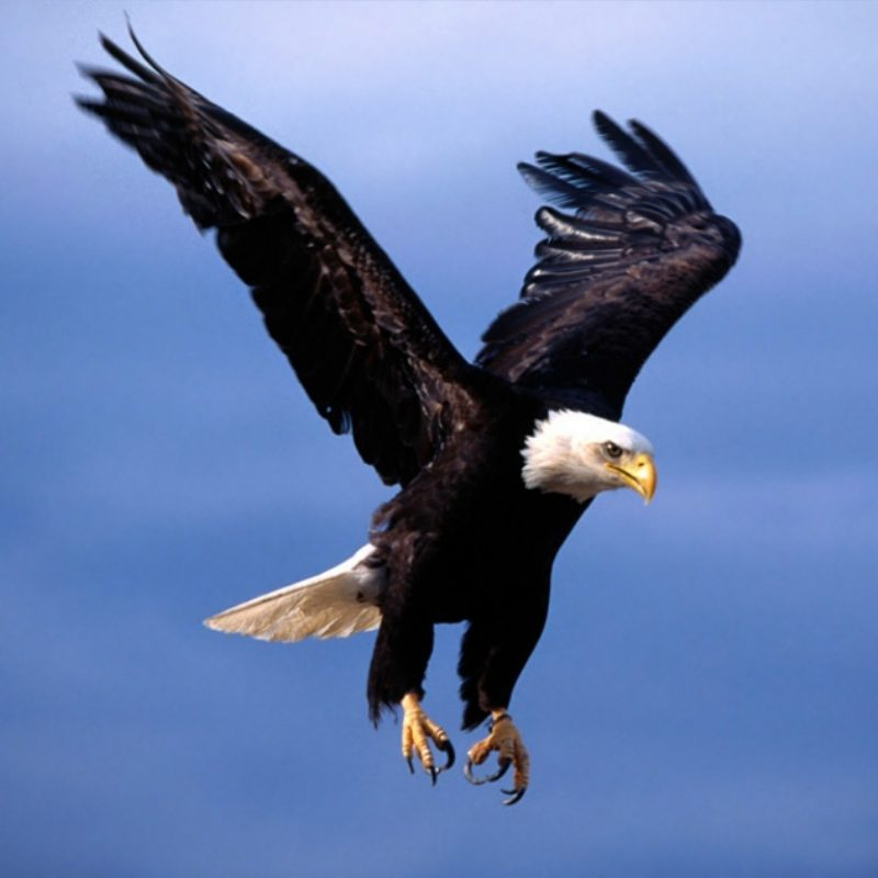 10 Best Eagle Wallpaper For Android FULL HD 1920×1080 For PC Desktop 2020 free download eagle bird animal wallpaper android 329 2470 wallpaper high 800x800