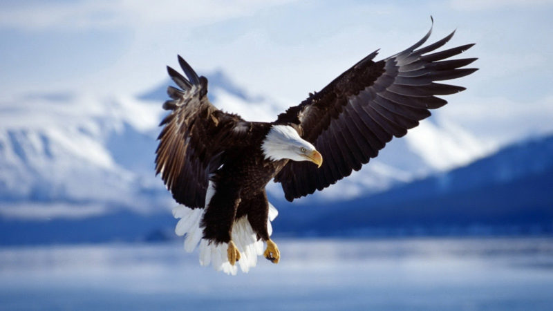 10 Most Popular Bald Eagle Hd Wallpapers FULL HD 1920×1080 For PC Background 2021 free download eagle bird free photos desktop hd wallpaper download 1 800x450