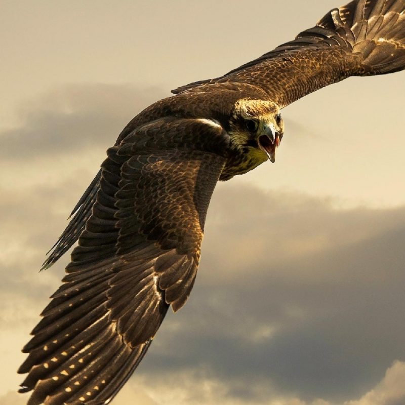10 Best Eagle Wallpaper For Android FULL HD 1920×1080 For PC Desktop 2020 free download eagle iphone wallpapers 800x800