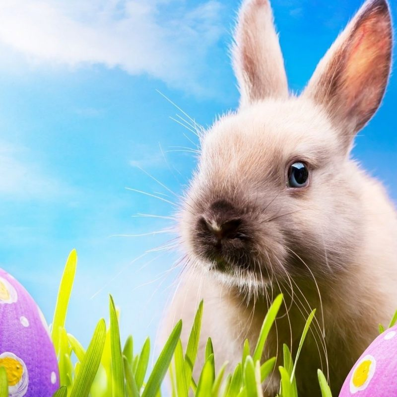 10 Most Popular Easter Bunny Wallpaper Backgrounds FULL HD 1920×1080 For PC Background 2018 free download easter bunny images background hd wallpaper the crapulent 800x800