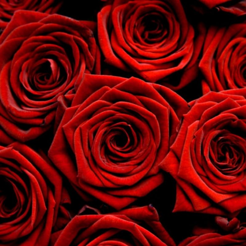 10 Most Popular Red Rose Background Tumblr FULL HD 1080p For PC Desktop 2018 free download eletragesi dark red roses tumblr images 800x800