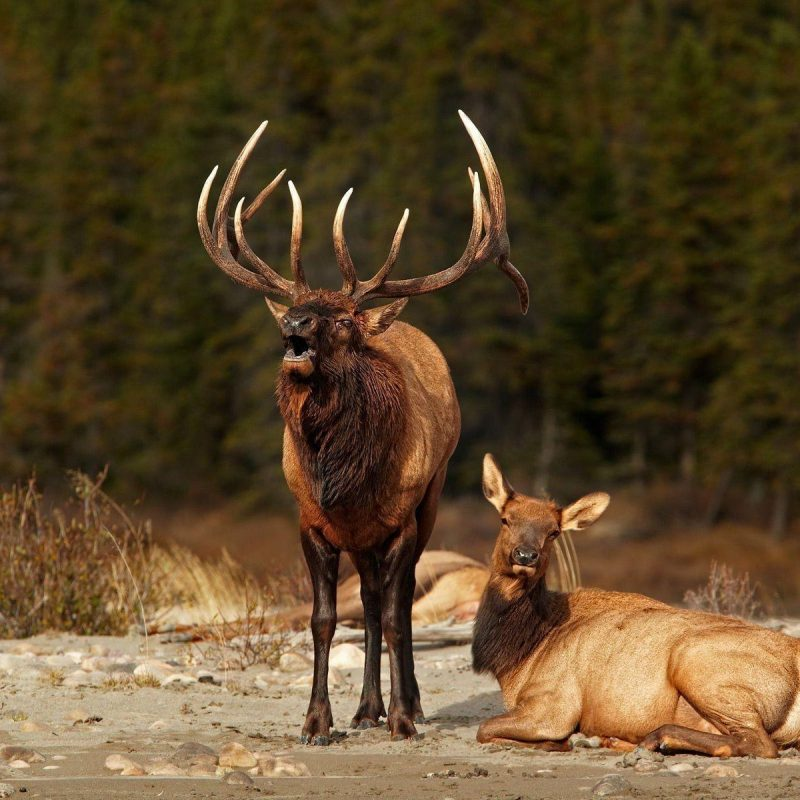 10 Top Rocky Mountain Elk Wallpaper FULL HD 1920×1080 For PC Background 2020 free download elk wallpapers wallpaper cave 2 800x800
