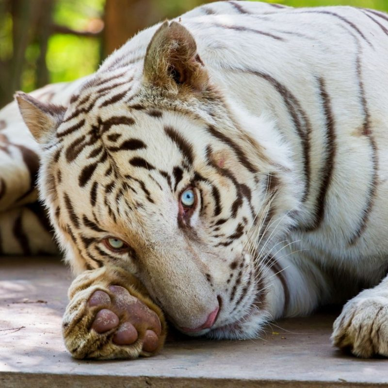 10 Most Popular Pictures Of White Tigers FULL HD 1920×1080 For PC Background 2018 free download endangered white tigers and the inbreeding controversy 800x800