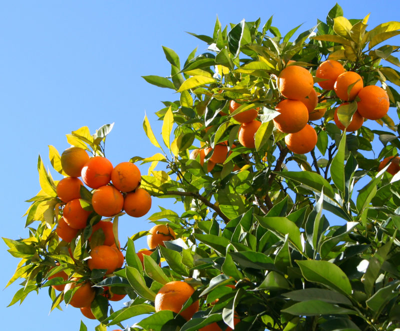 10 Best Orange Tree Pictures FULL HD 1080p For PC Background 2018 free download exotic fruit trees berry orange tree oversize 800x662