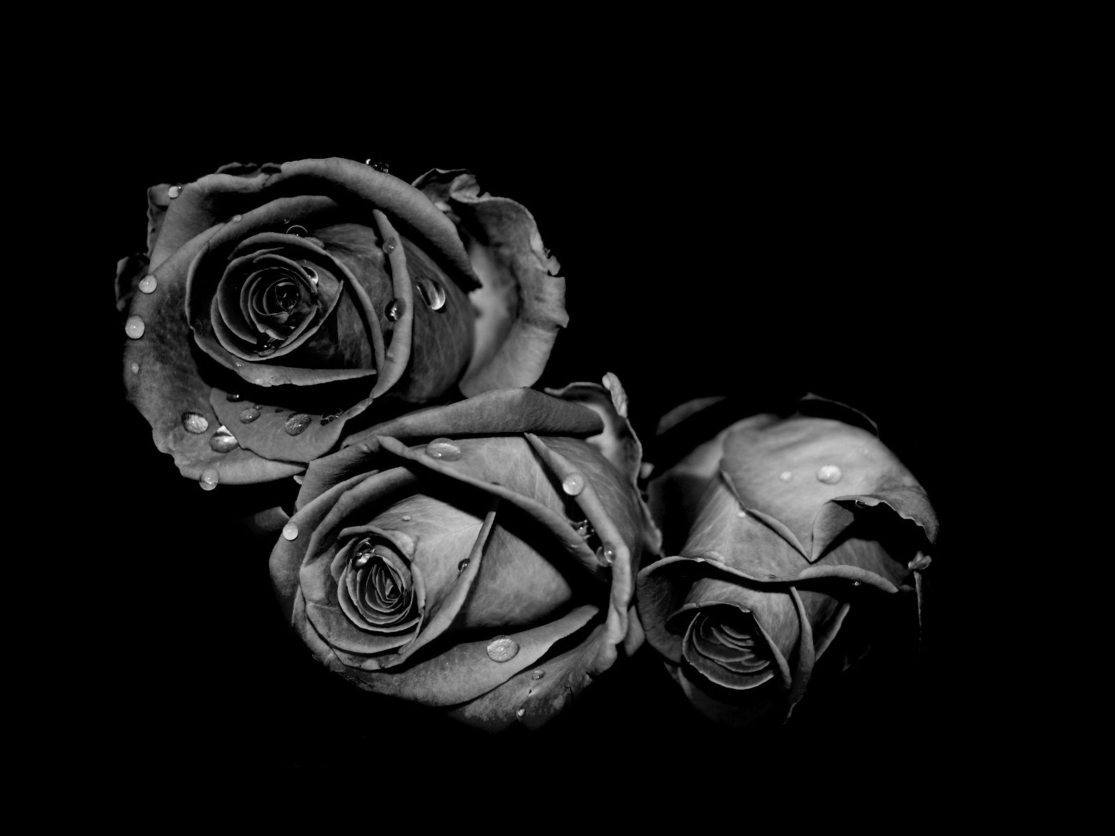 fading black roses world desktop photography wallpaper collection