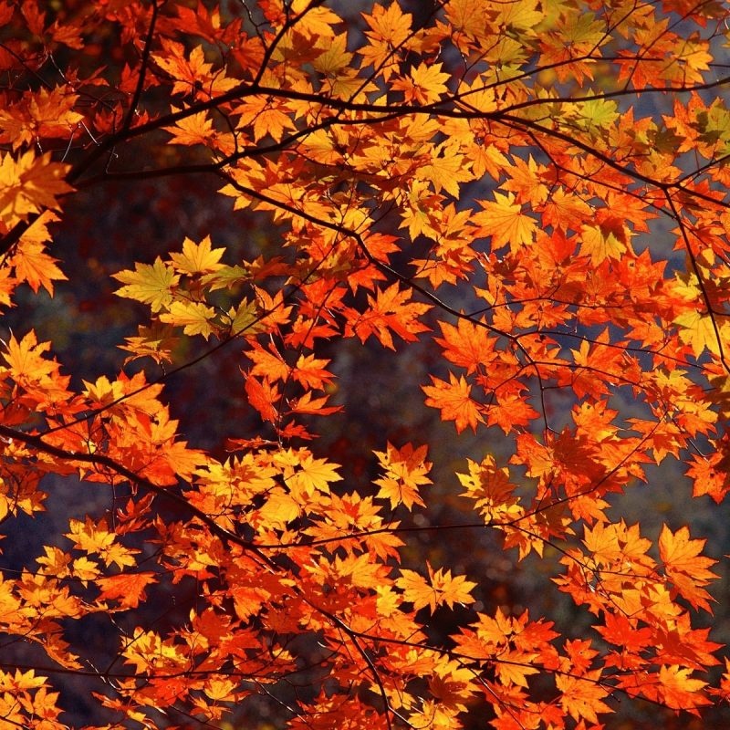 10 New Fall Leaves Desktop Backgrounds FULL HD 1080p For PC Background 2018 free download fall leaves tumblr hd desktop wallpaper instagram photo background 1 800x800