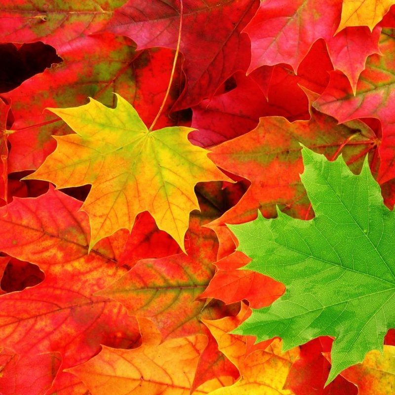 10 New Fall Leaves Desktop Backgrounds FULL HD 1080p For PC Background 2018 free download fall leaves wallpapers for android free download subwallpaper 1 800x800