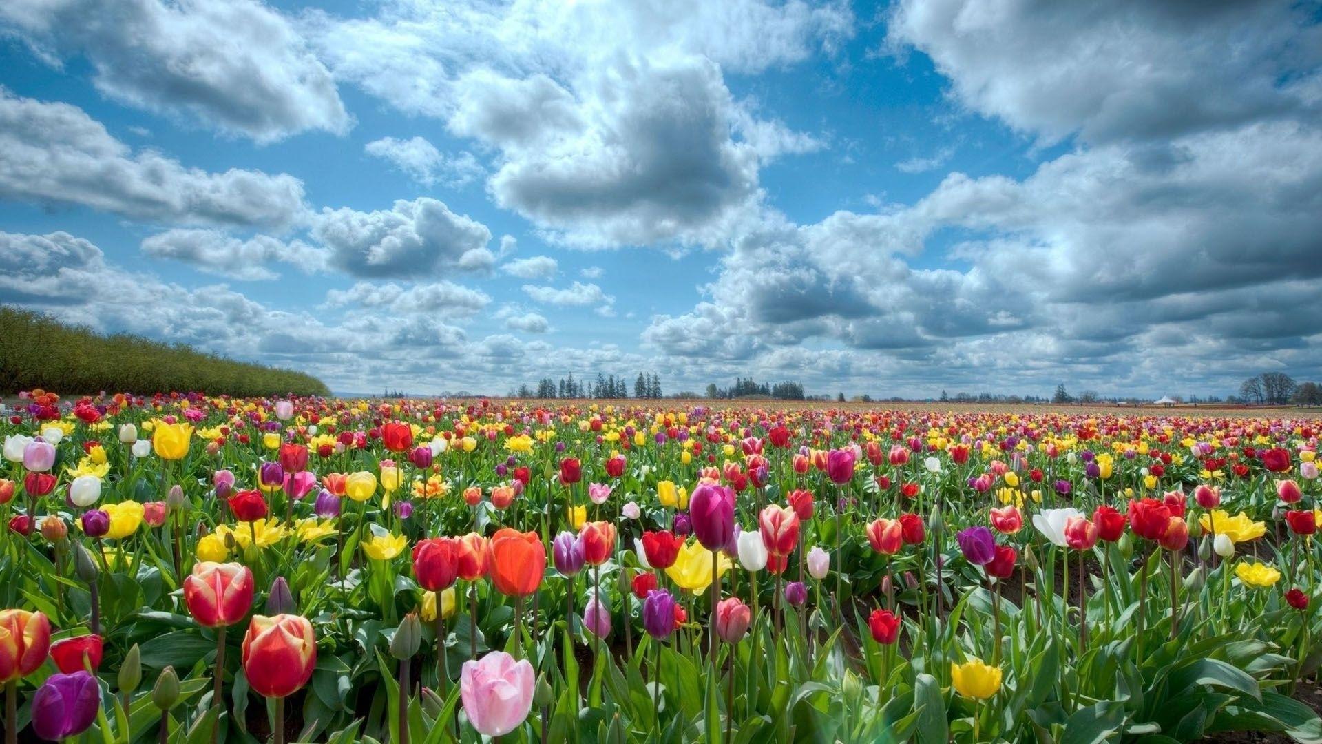 field of flowers background | hd-wallpapers-field-of-flowers