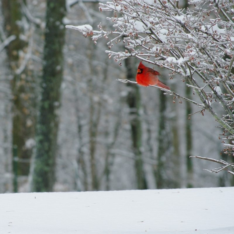 10 New Cardinal In Snow Pictures FULL HD 1080p For PC Desktop 2021 free download filecardinal in snow 6565983835 wikimedia commons 800x800