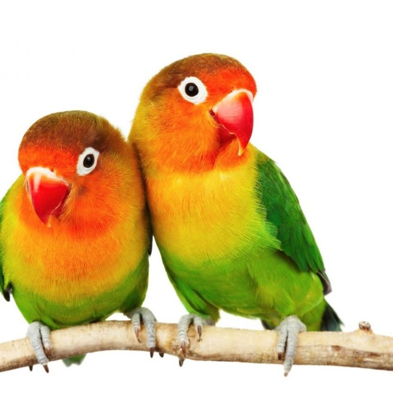 10 Top Images Of Love Bird FULL HD 1920×1080 For PC Background 2020 free download fischers lovebird pets4homes 800x800