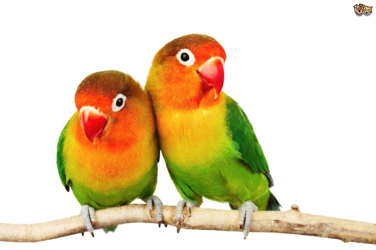 fischer's lovebird | pets4homes