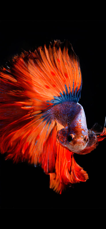 10 Latest Iphone Fish Wallpaper FULL HD 1080p For PC Desktop 2021 free download fish wallpaper for iphone x 8 7 6 free download on 3wallpapers 369x800