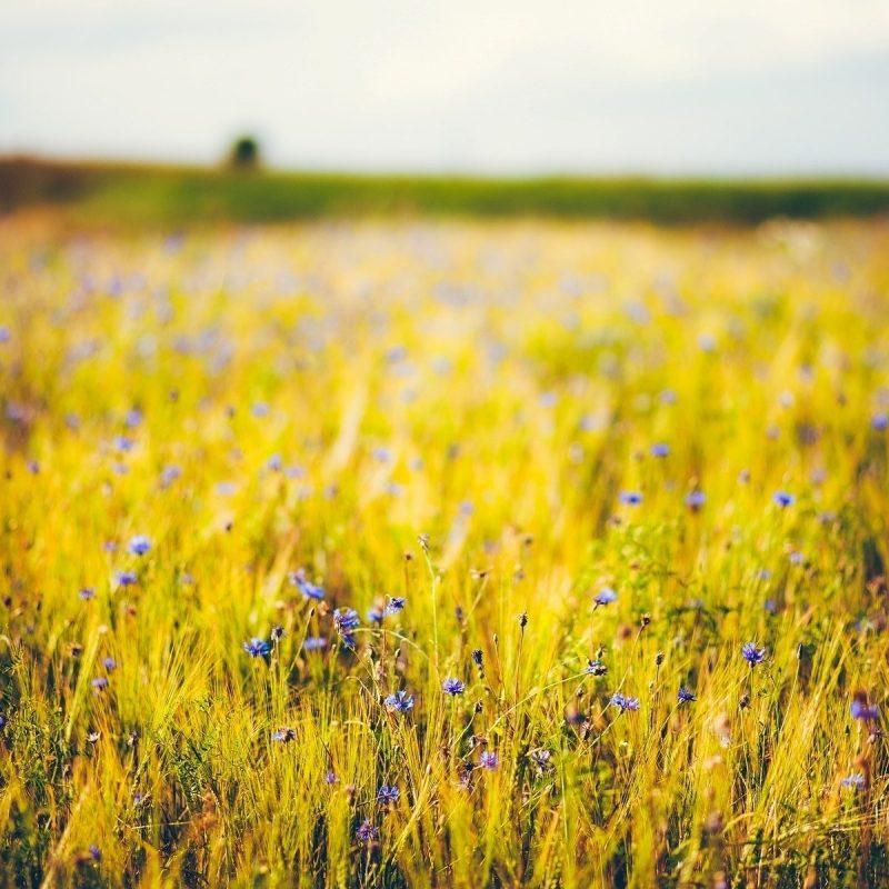 10 New Field Of Flowers Background FULL HD 1920×1080 For PC Desktop 2021 free download flower flowers poppy poppies the field wheat rye ears spikelets 800x800