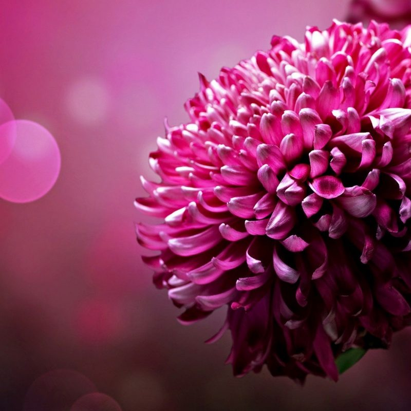 10 Top Desktop Flowers Wallpaper Backgrounds Full Hd 1080p For Pc