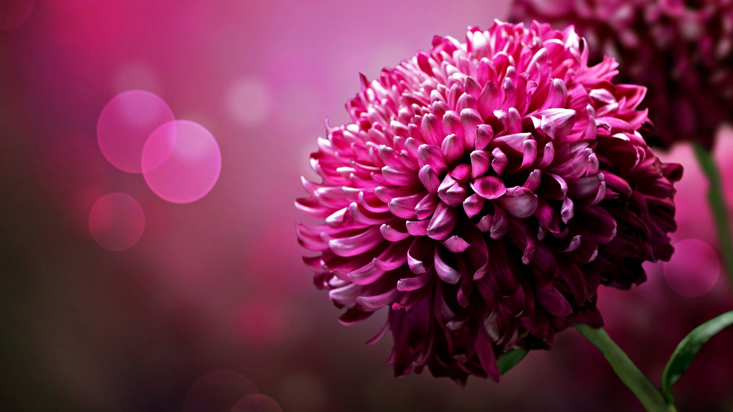 flower wallpapers pink high quality resolution | natures wallpapers