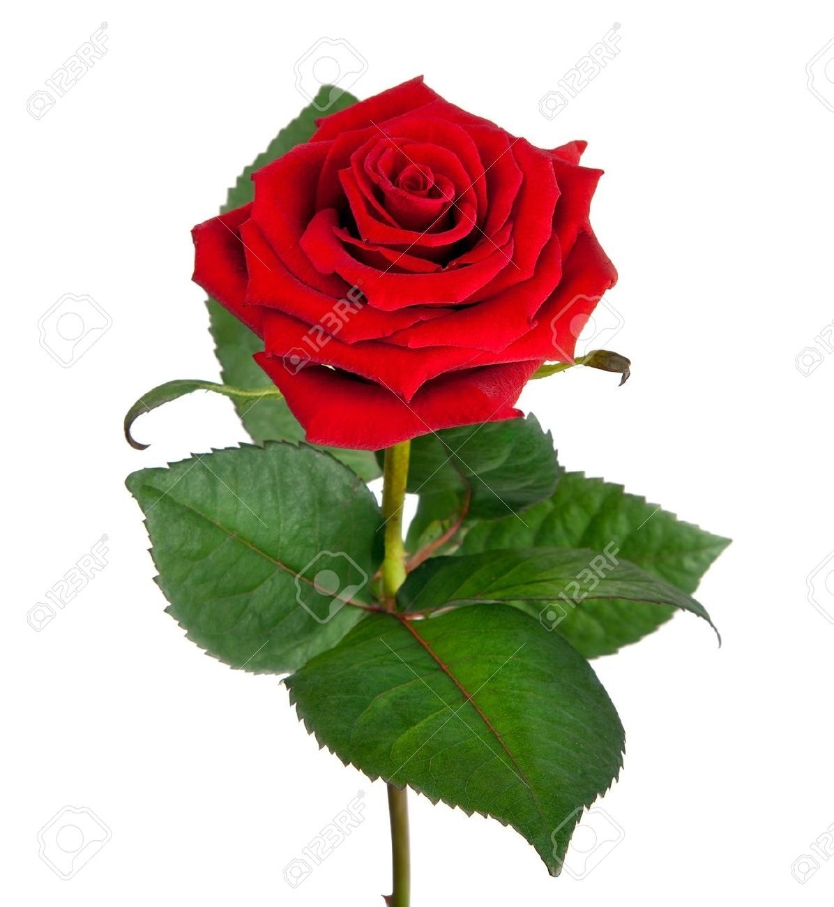 flowers a single red rose wallpapers (desktop, phone, tablet