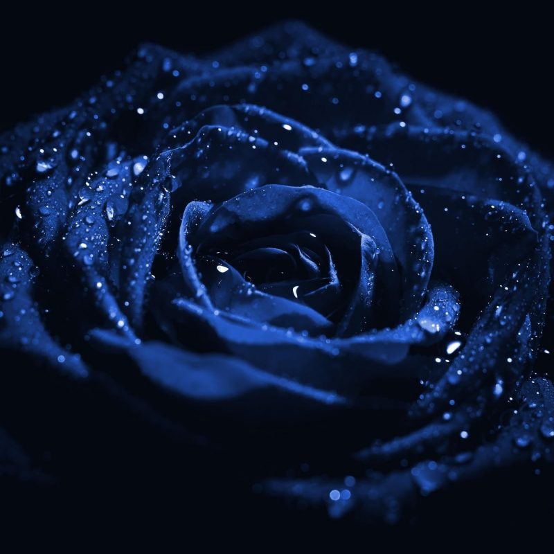 Hd exclusive blue rose hd wallpapers 1080p best wallpaper - Dark blue wallpaper hd for android ...
