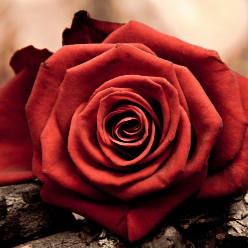 10 Top Dark Red Rose Wallpapers FULL HD 1080p For PC Desktop 2020 free download flowers deep red rose wallpapers desktop phone tablet awesome 800x800