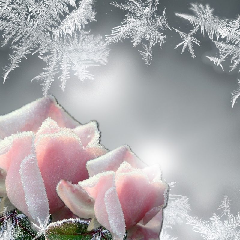 10 Latest Winter Flowers Wallpaper Backgrounds FULL HD 1920×1080 For PC Background 2018 free download flowers persona rose roses glow cold frozen frost bright firefox 800x800